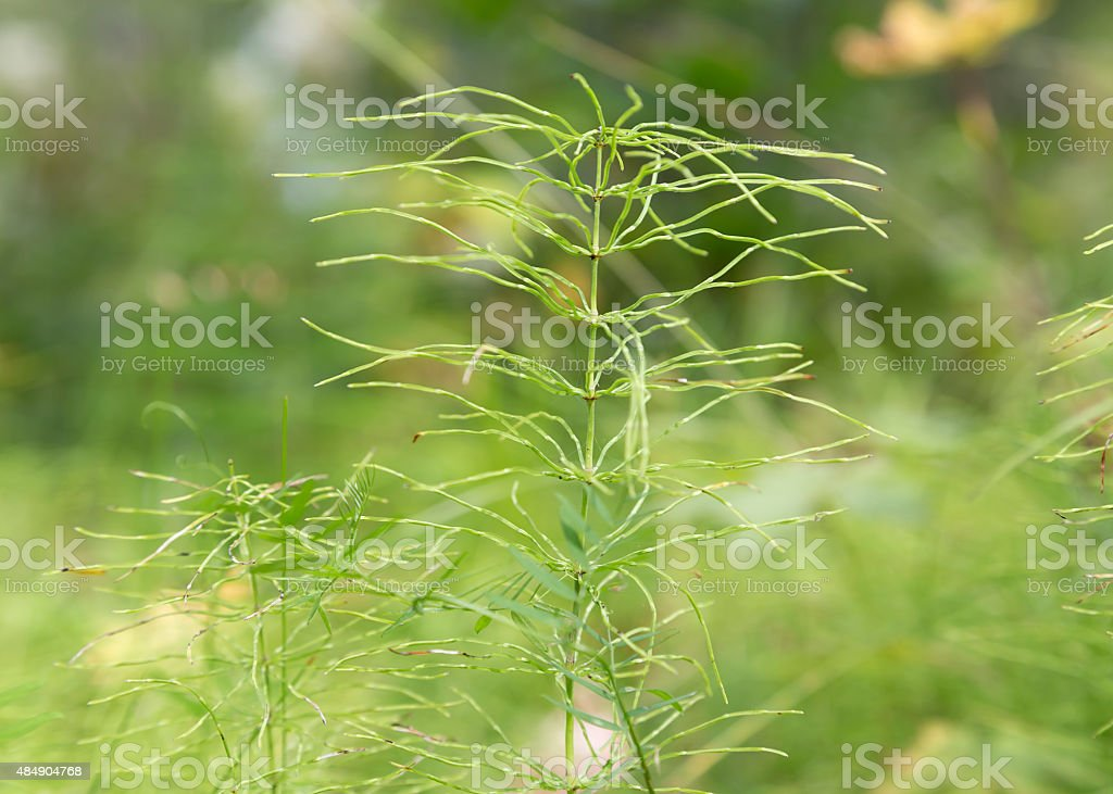 Single horsetail royalty-free stock photo