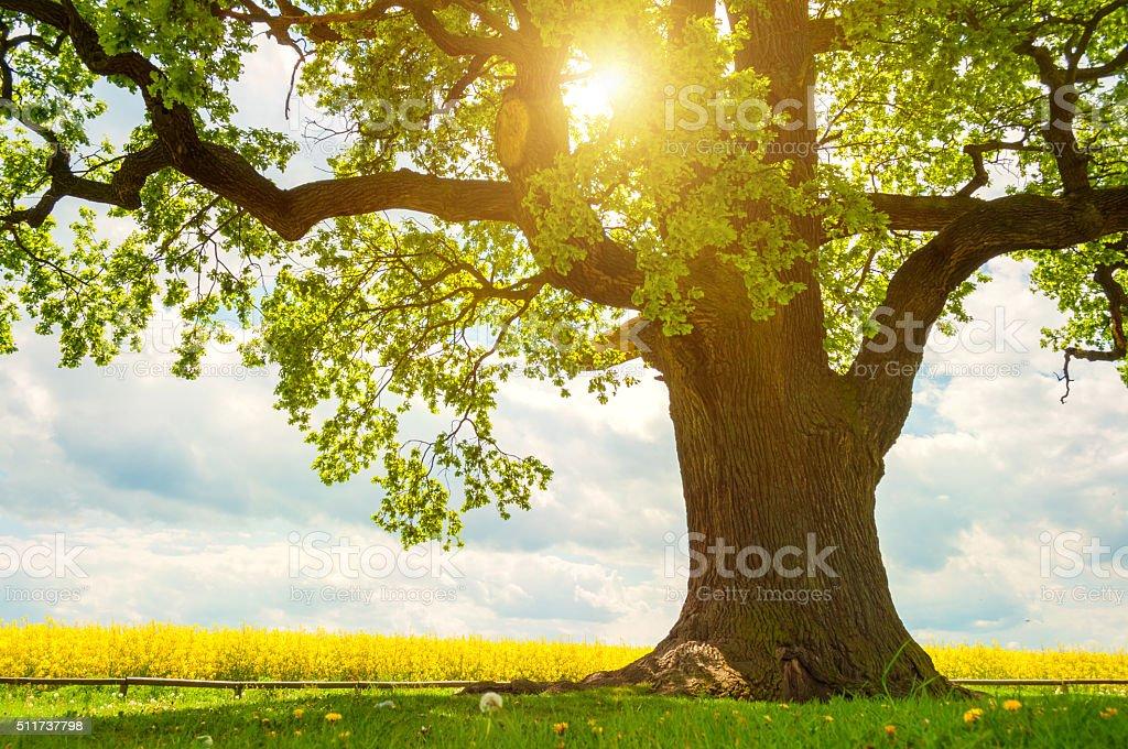 single huge oak tree in canola field in sunlight stock photo