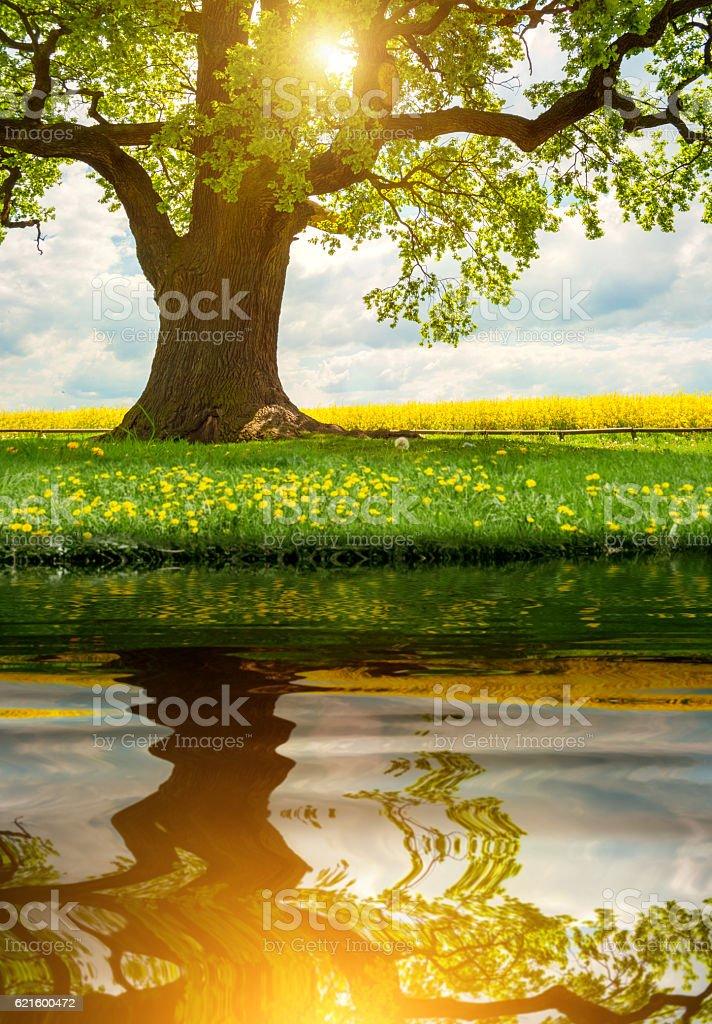 single huge oak tree in canola field sunlight with mirror stock photo