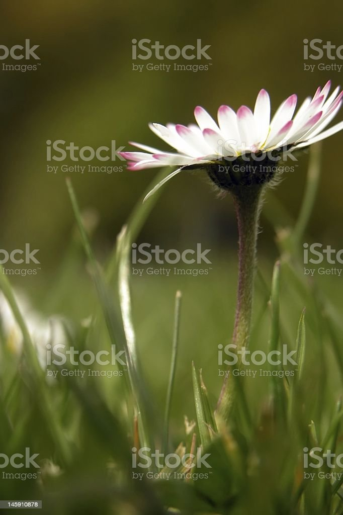 Single Individual Daisy in the Grass royalty-free stock photo