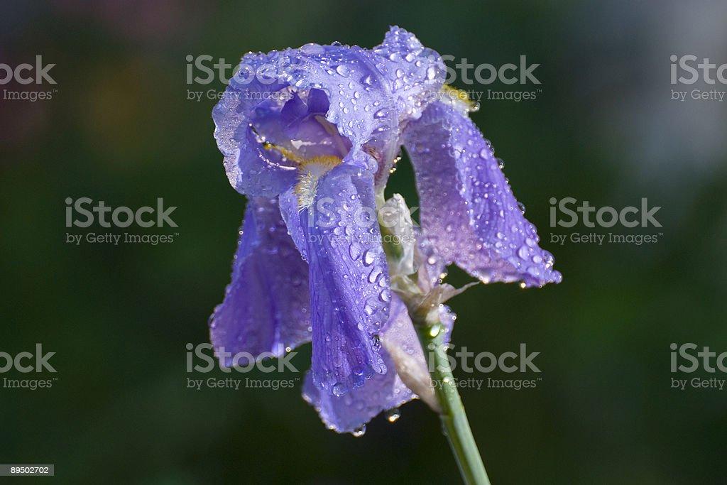 Single Iris Blossom royalty-free stock photo