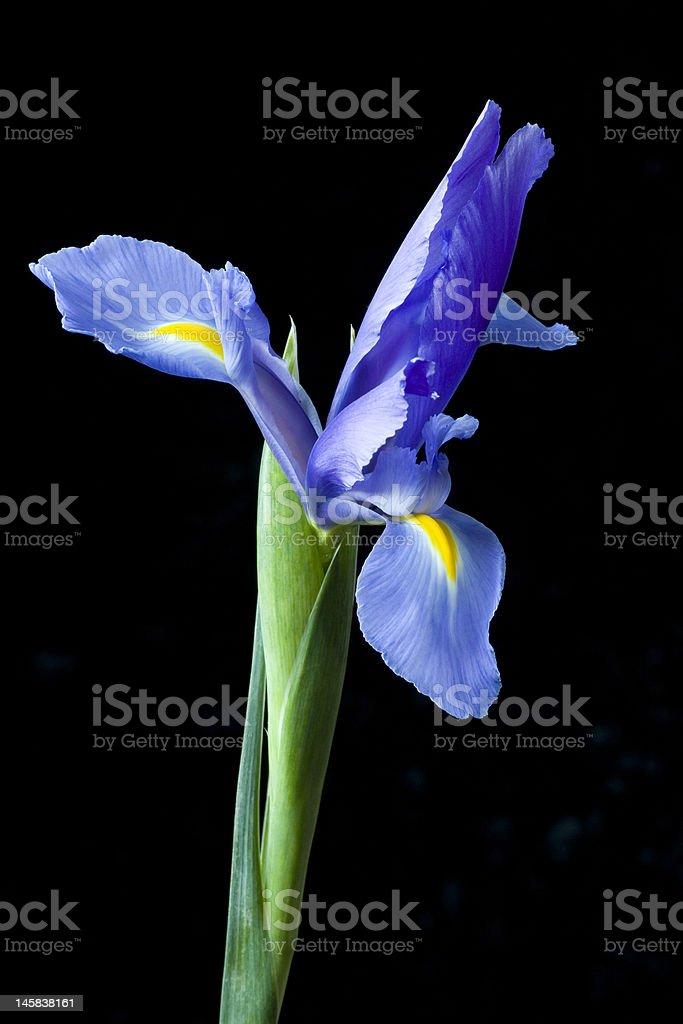 Un Iris flor primer plano foto de stock libre de derechos