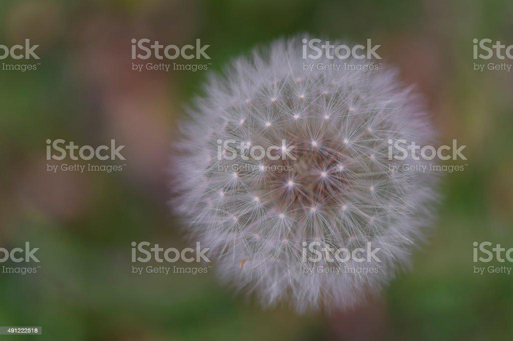 Single Isolated Dandelion Head stock photo