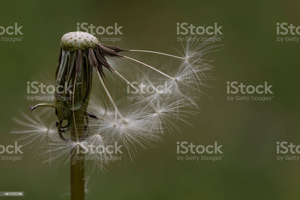 Single Isolated Dandelion Head With Seeds Missing stock photo