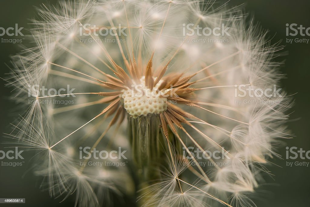 Single Isolated Dandelion Seed Head, Blowball or Clock stock photo