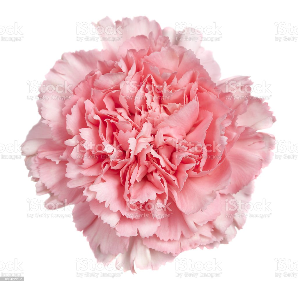 Single Isolated Pink Carnation, Close up stock photo