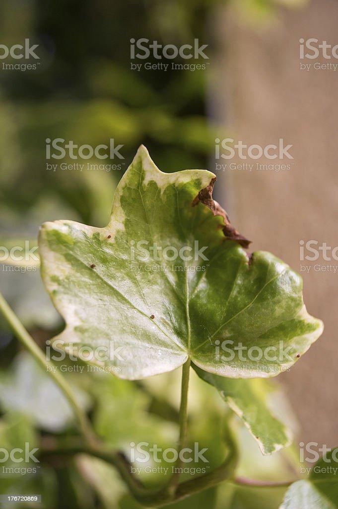 Single Ivy Leaf royalty-free stock photo