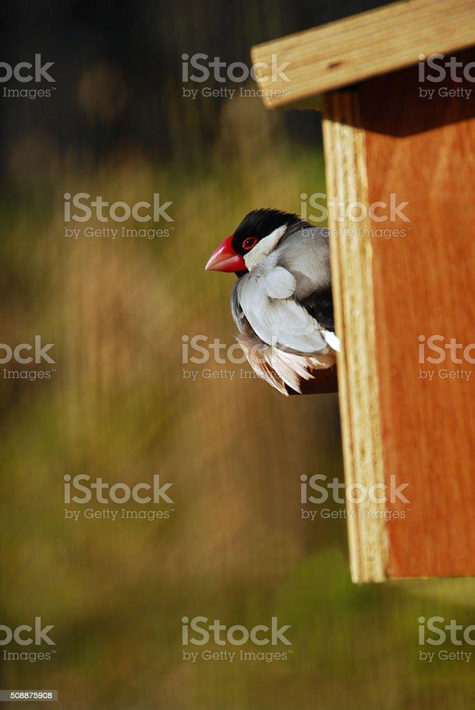Single Java sparrow infront of a Bird nest. stock photo