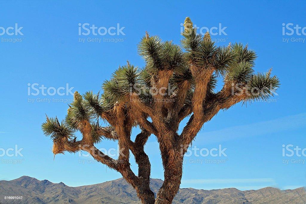 Single Joshua Tree in Bloom stock photo