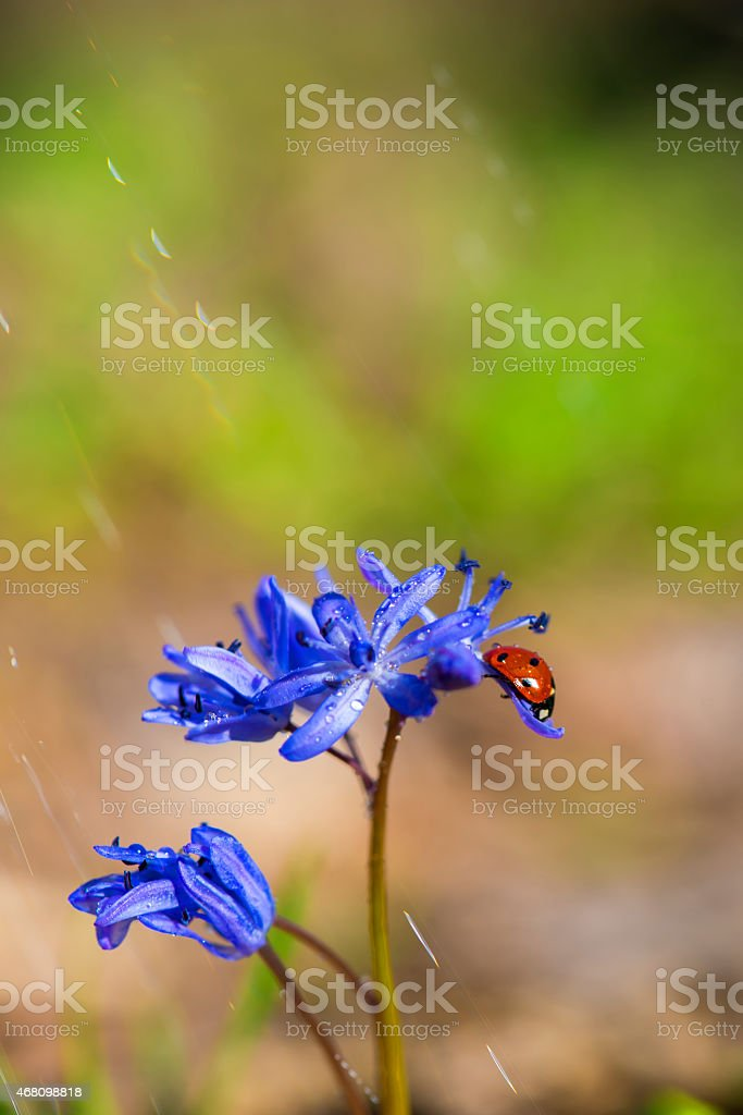 Single Ladybug on violet bellflowers in spring during rain stock photo