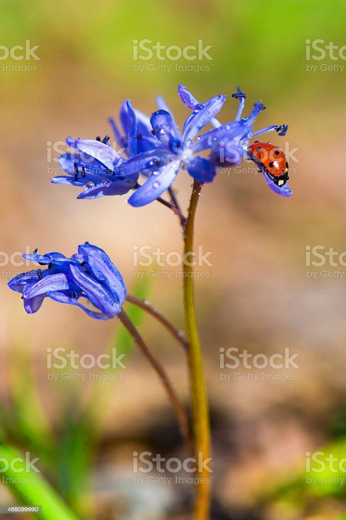 Single Ladybug on violet bellflowers in spring stock photo