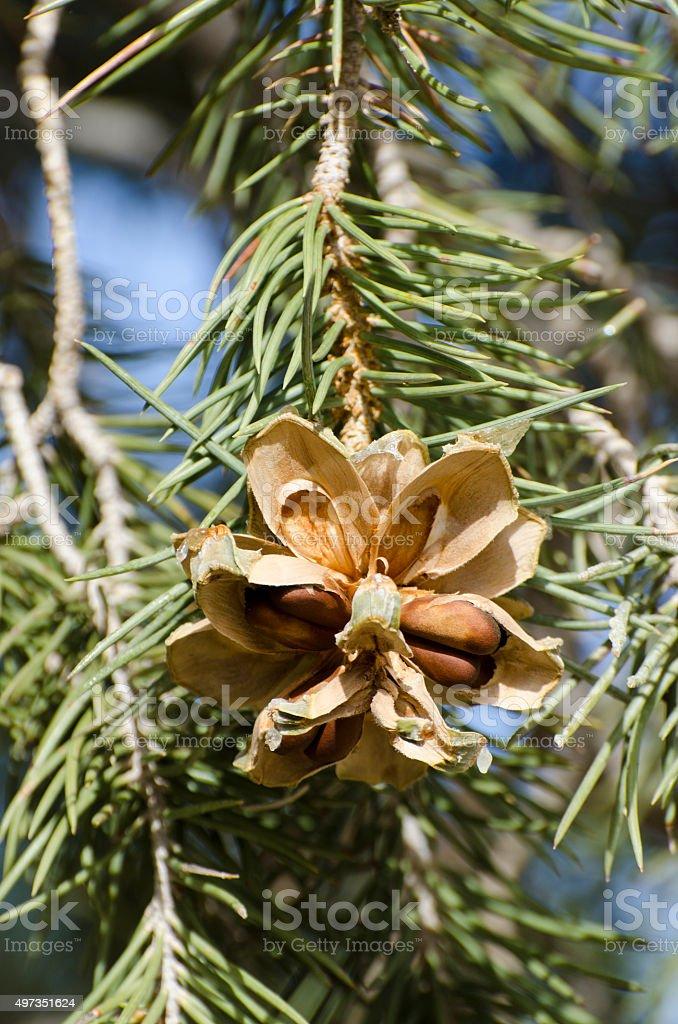 single leaf pinyon pine  Pinus monophylla stock photo