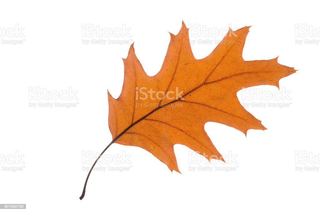 Single leaf with autumn color, isolated on white stock photo