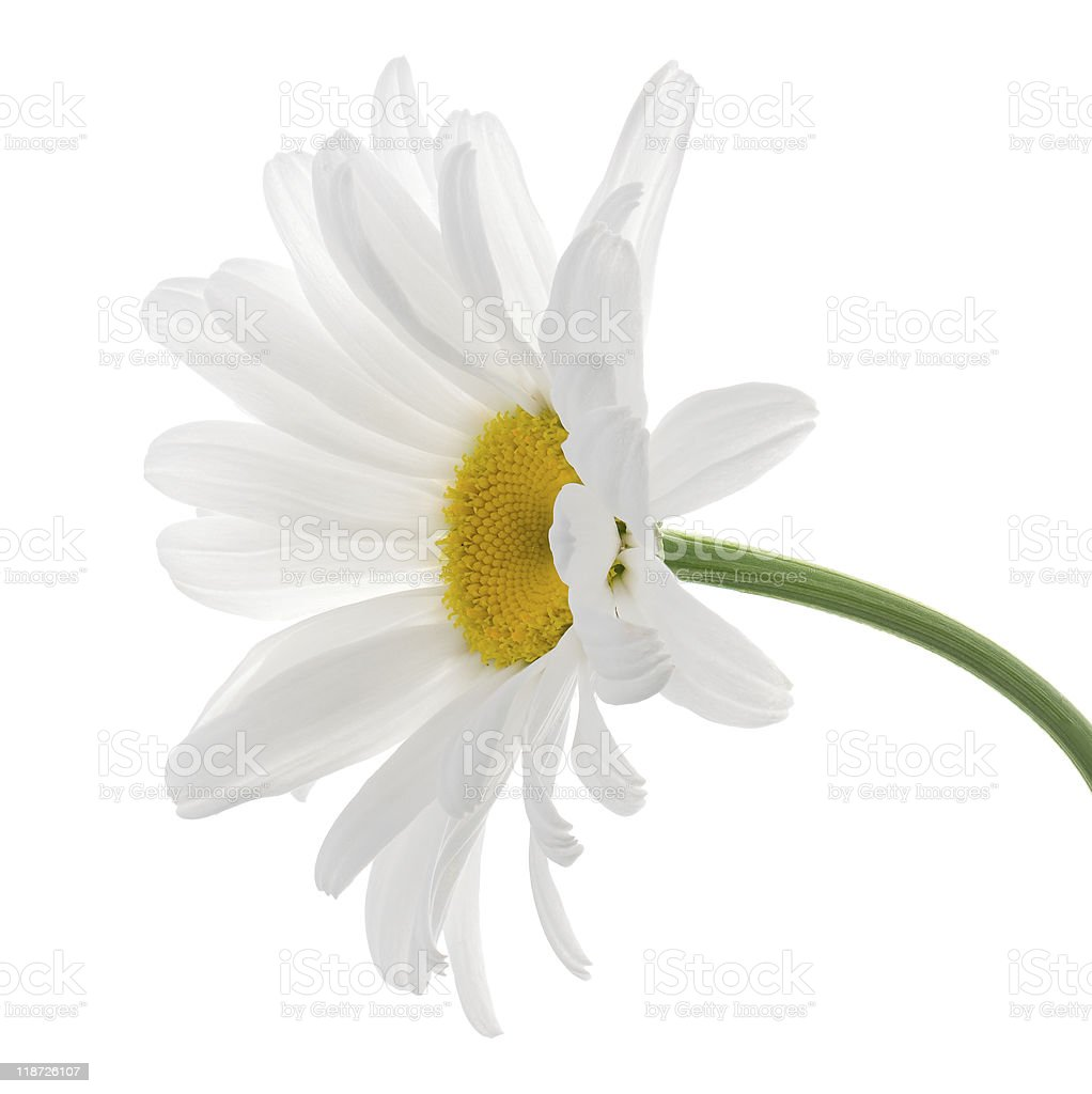 Single leucanthemum flower on a white background stock photo