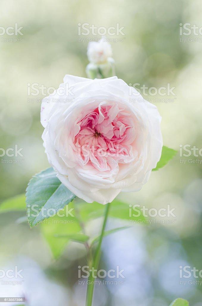 Single Light Pink Antique Rose - Clotilde Soupert stock photo