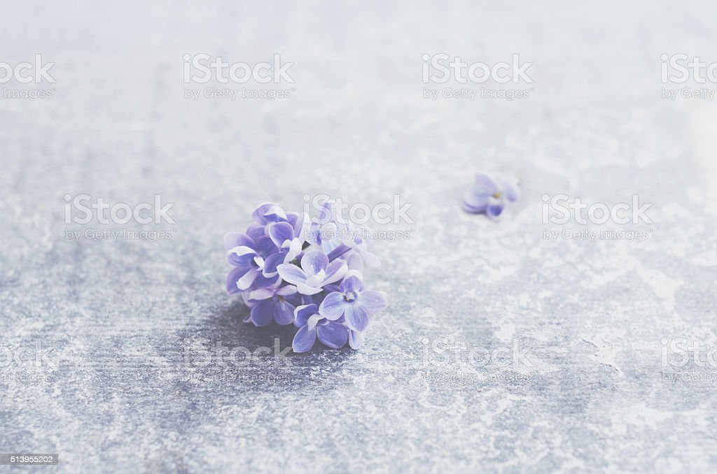 Single lilac flower over grey concrete background stock photo