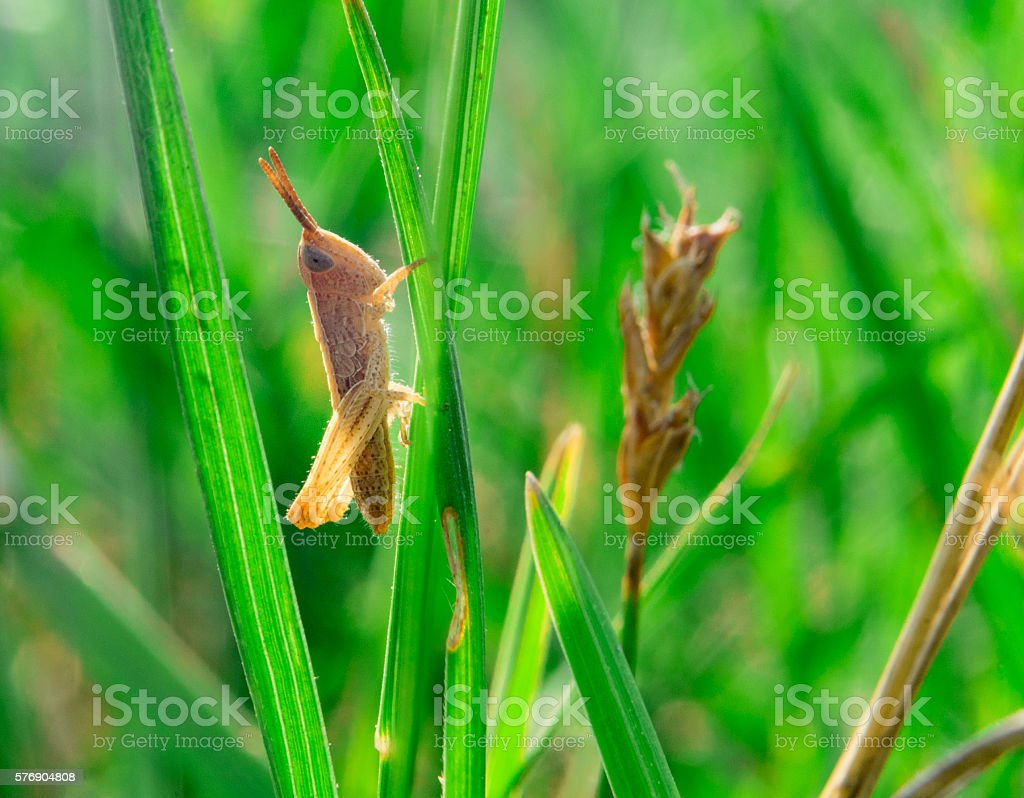 Single little brown grasshooper sitting in the grass stock photo