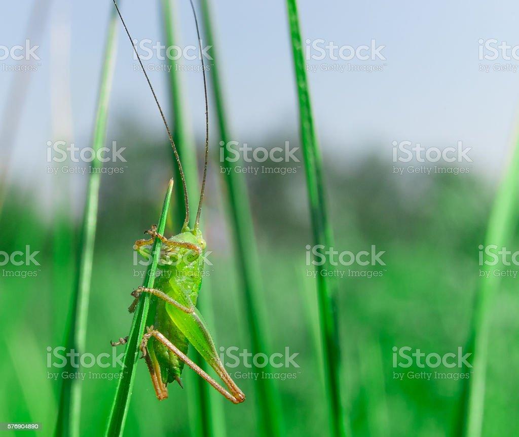 Single little green grasshooper sitting in the grass stock photo
