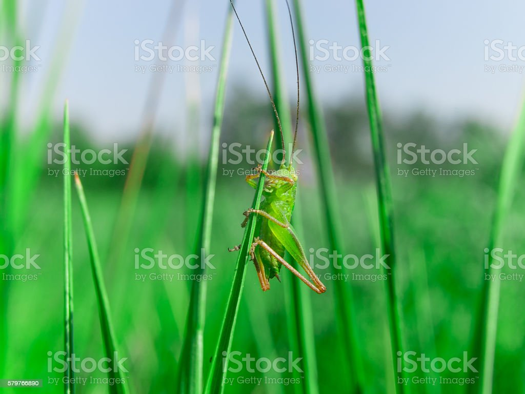 Single little green grasshooper sitting in the grass stock photo
