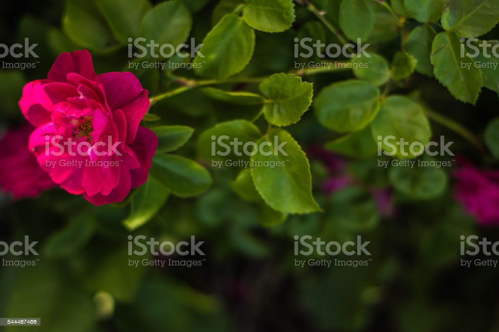 Single long stemmed Rose stock photo