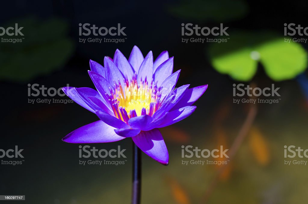 Single lotus flower in the pond with koi fishes royalty-free stock photo