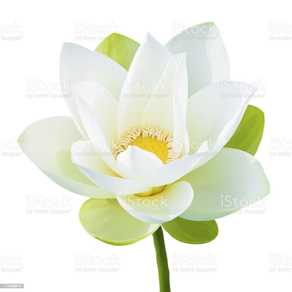 Single lotus flower stock photo