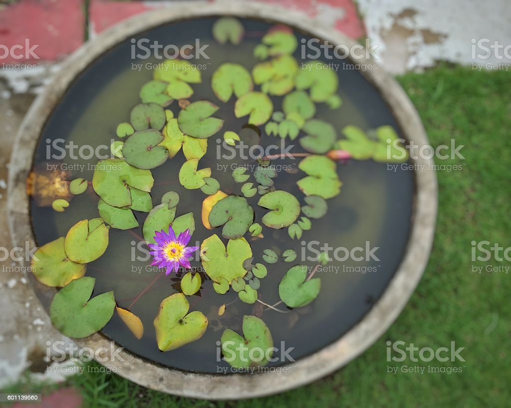 Single lotus in the pot royalty-free stock photo