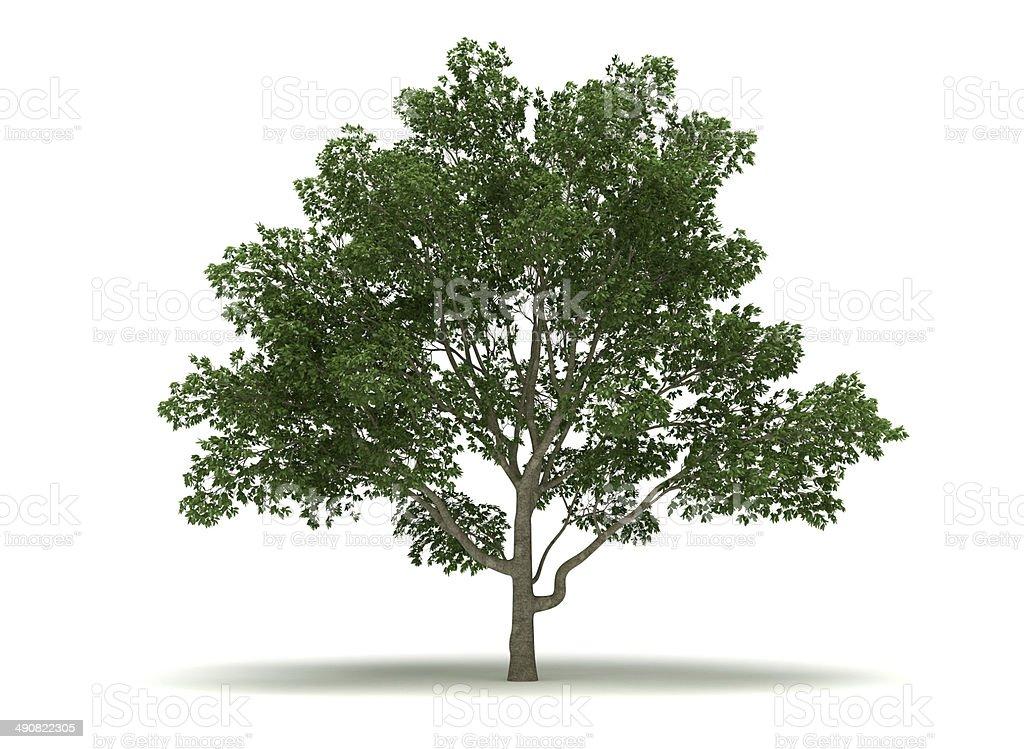 Single Magnolia Tree stock photo