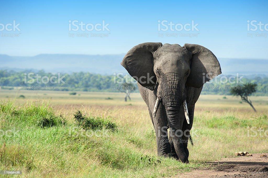 Single male Elephant in the Masai Mara stock photo