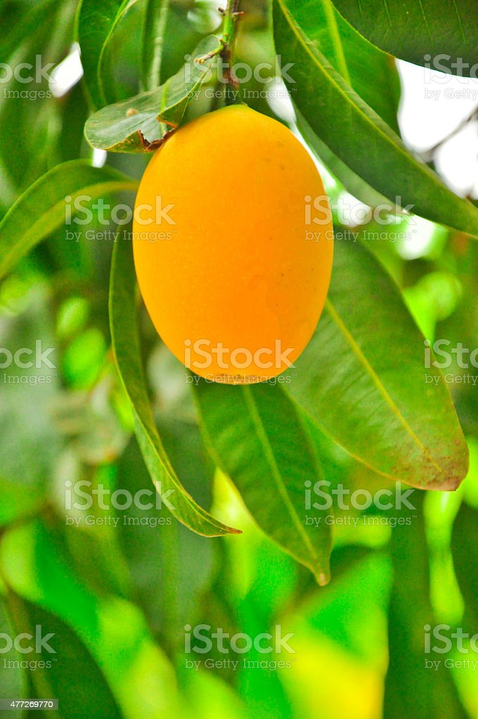 Single Maprang Marian Plum or  Plum Mango thailand stock photo