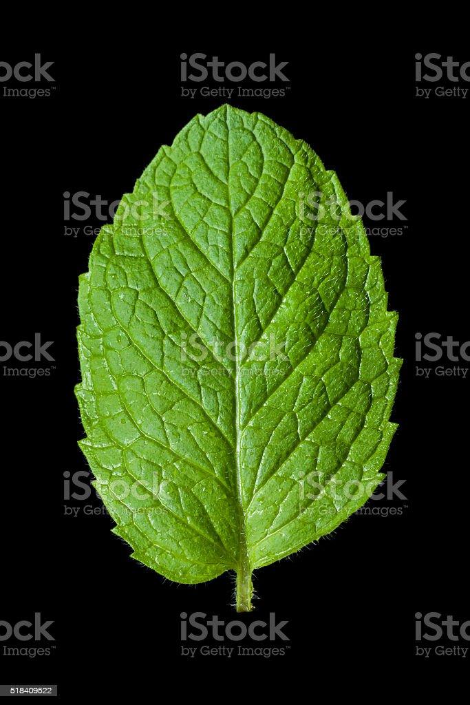 Single mint leaf isolated on black background stock photo