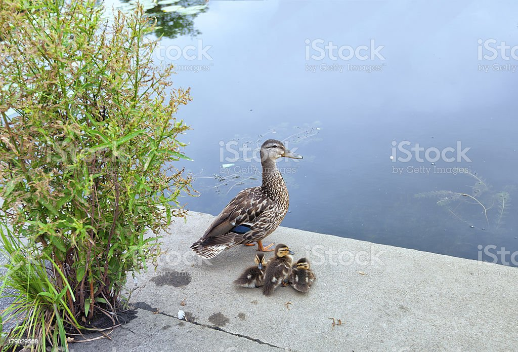 Single Mother take care of 3 little ducks royalty-free stock photo