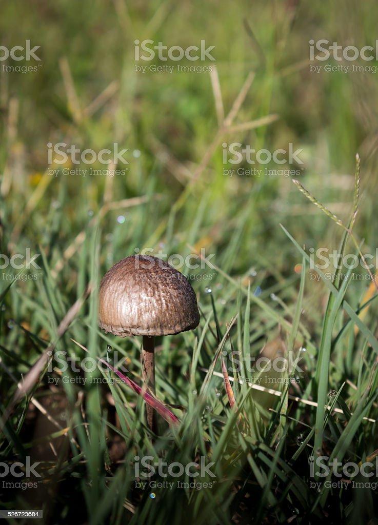 Single mushroom in the grass stock photo