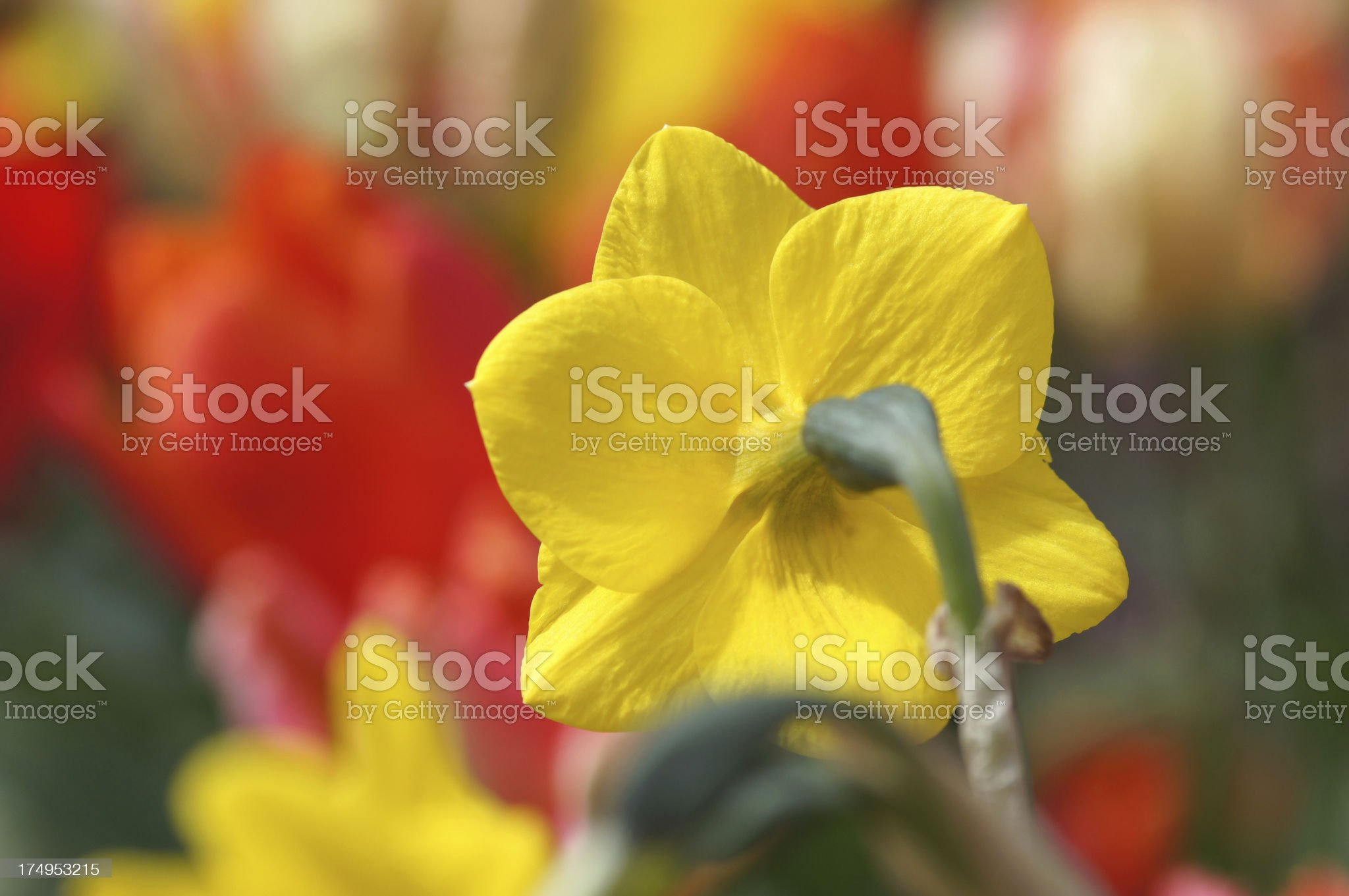 Single narcissus flower royalty-free stock photo