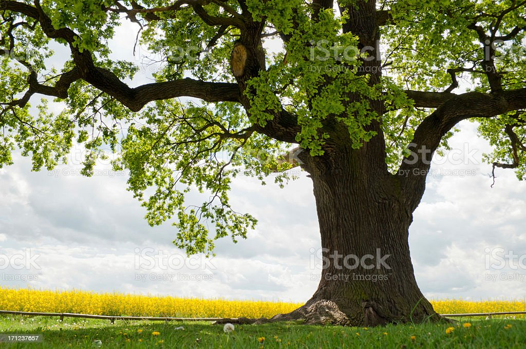 single oak at rape field stock photo