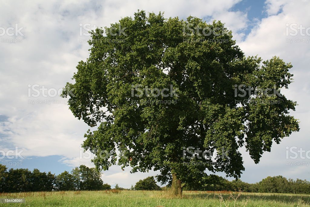 Single oak in the course of seasons (summer) royalty-free stock photo