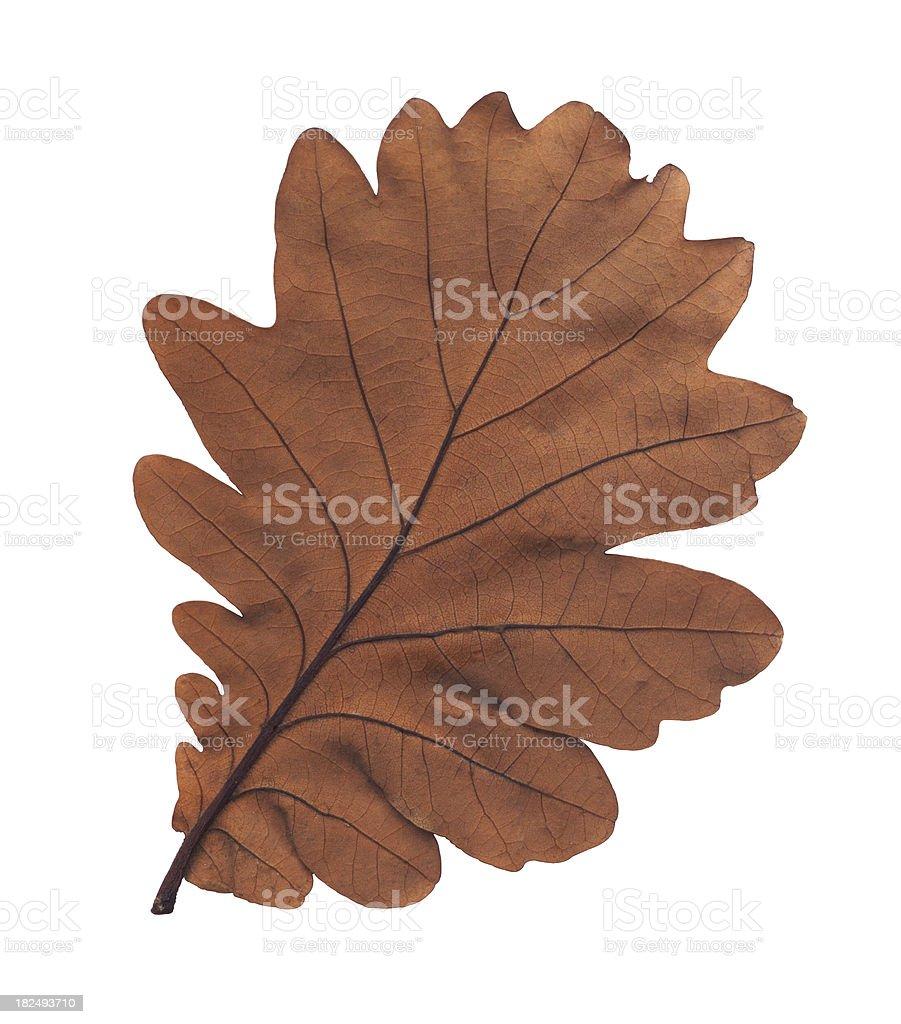 single oak leaf royalty-free stock photo