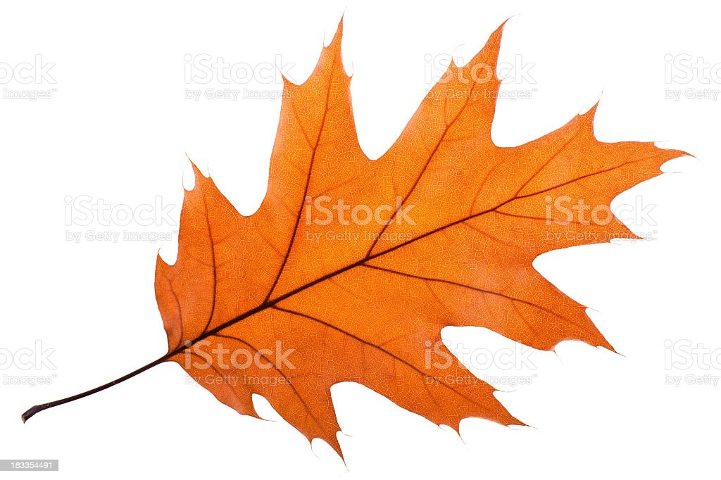 Single Oak Leaf stock photo
