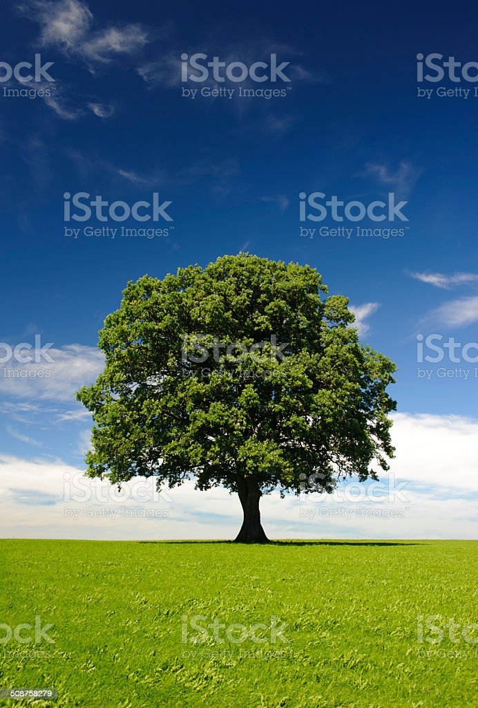 single oak tree at summer stock photo