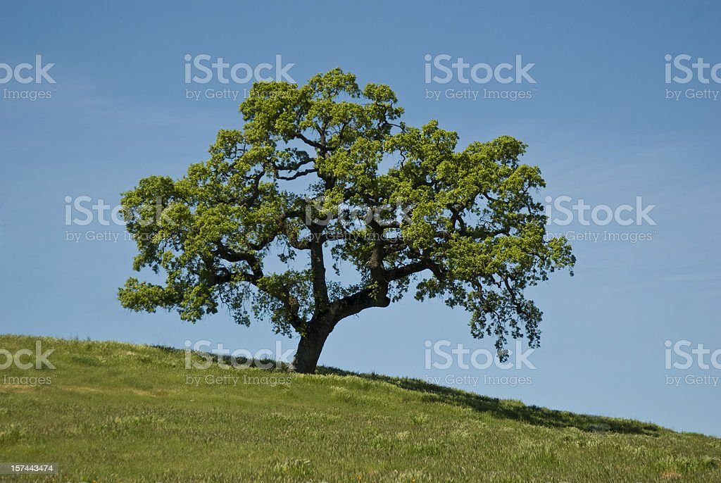 A single oak tree in a greenfield, against a blue sky royalty-free stock photo
