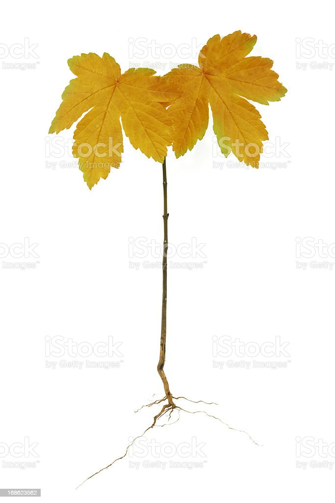Single oak tree royalty-free stock photo