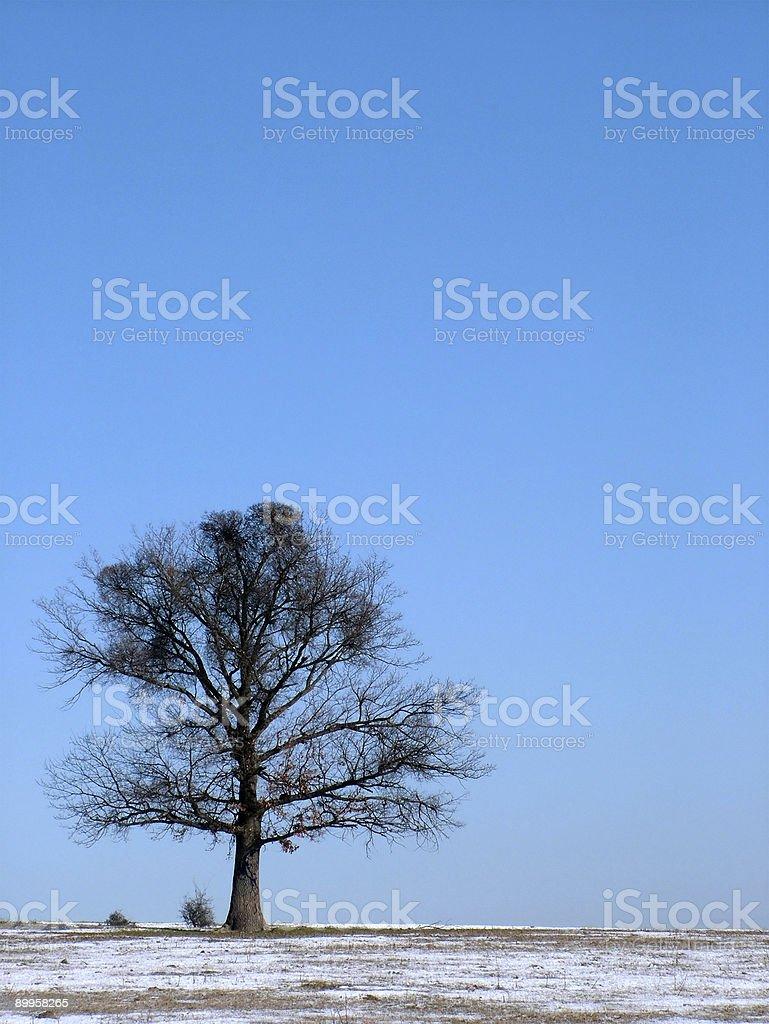 Single oak tree royalty-free stock photo