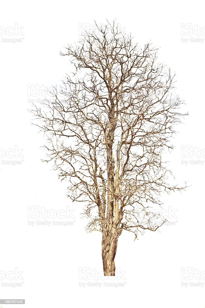 Single old and dead tree isolated on white background royalty-free stock photo