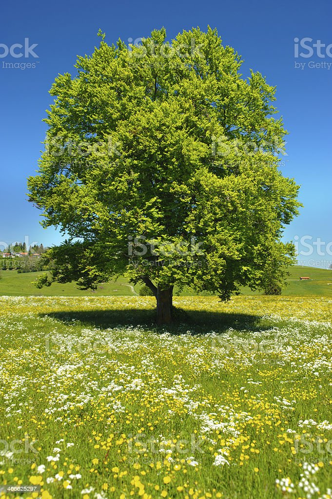 single old beech tree stock photo