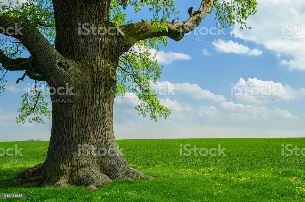 single old oak at meadow stock photo