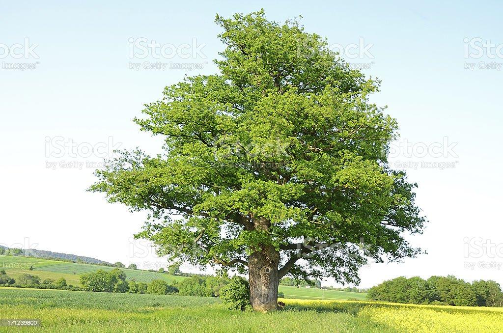 Single old oak tree on meadow in spring stock photo