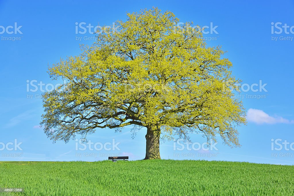 Single old  oak tree with bench on field early spring stock photo