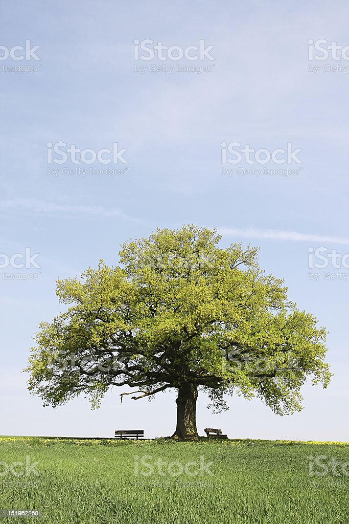 Single old  oak tree with benches behind young wheat field royalty-free stock photo