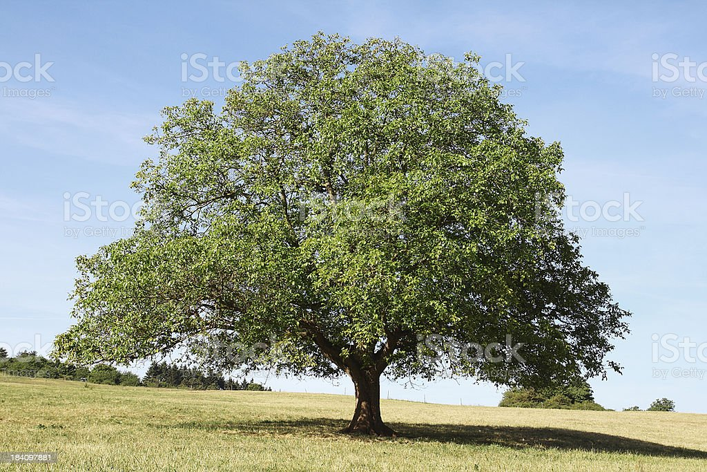 Single old walnut  tree on meadow with dry grass stock photo