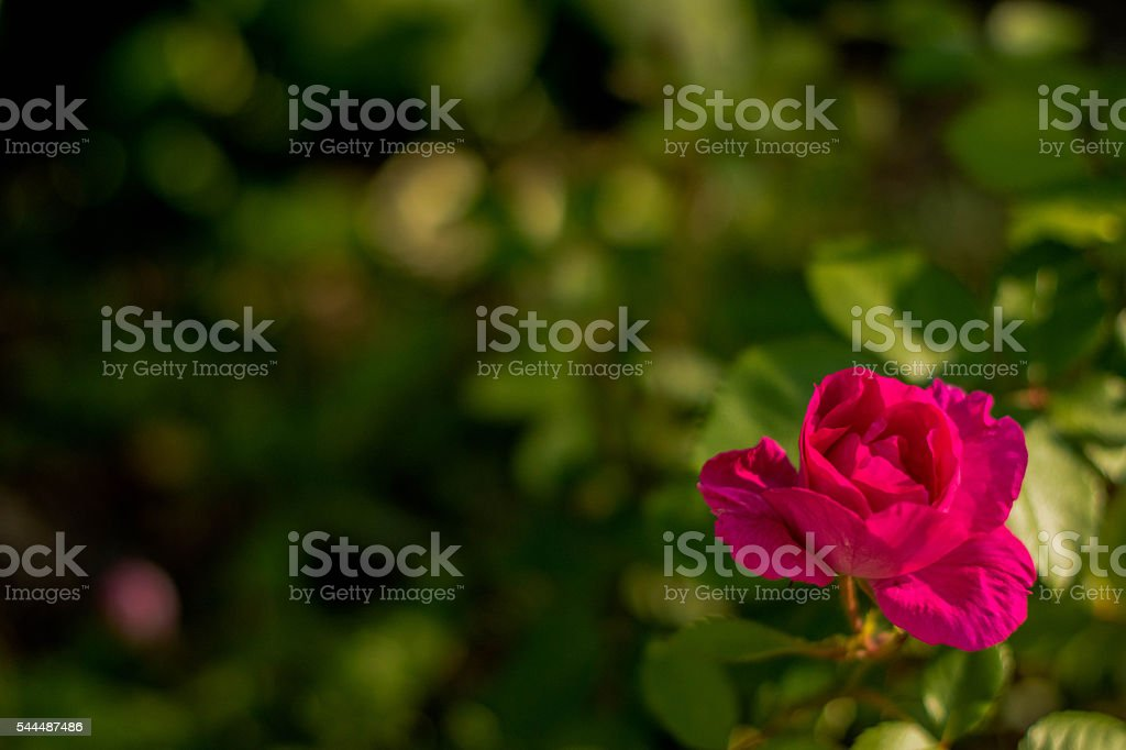 Single open Rose on lower right stock photo